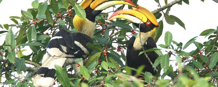 The Struggle Life of Hornbills