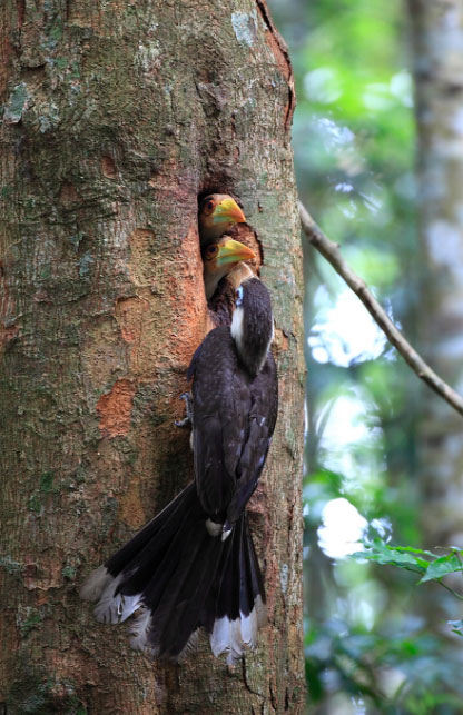 White-throated Brown Hornbill