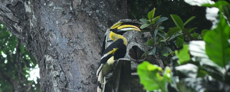Hornbills and Artificial Nests