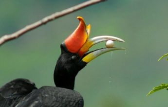 The Story of Scar Face, the Rhinoceros Hornbill  from Nest Number 29